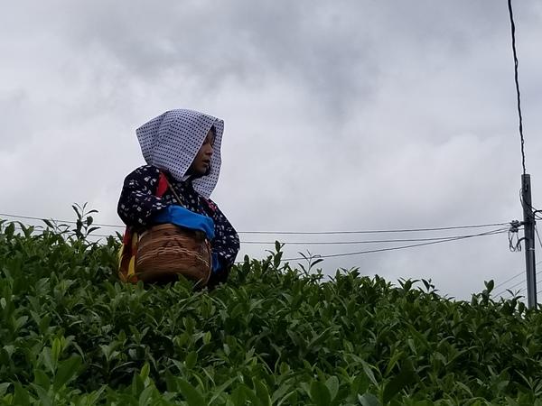 秋新茶摘み