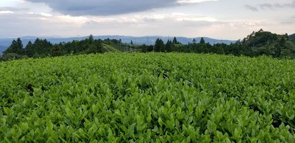 天空の茶畑の様子❗